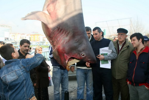 Marmara'nın keskin dişi Saros'da ağlara takıldı 2