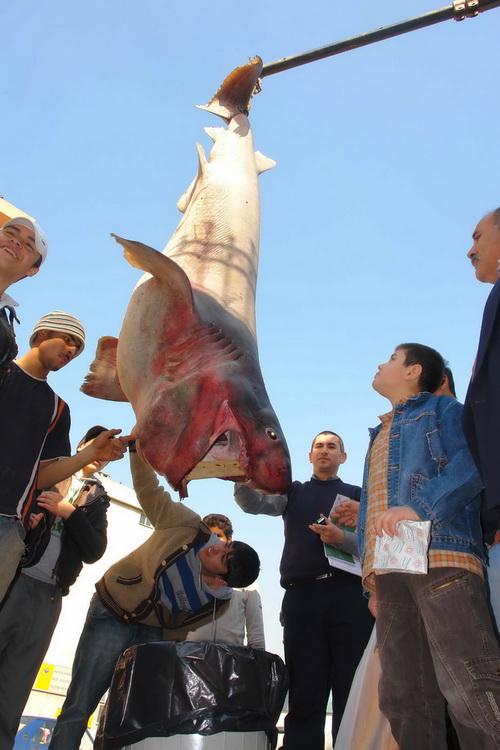 Marmara'nın keskin dişi Saros'da ağlara takıldı 6