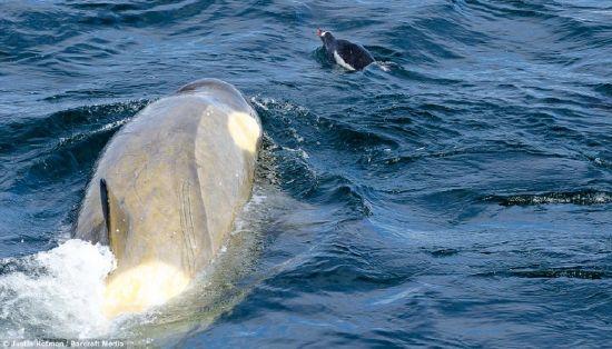 Balinaların penguen avı karelere böyle yansıdı 10