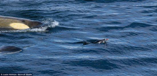 Balinaların penguen avı karelere böyle yansıdı 3