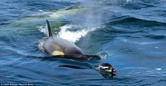 Balinaların penguen avı karelere böyle yansıdı 4