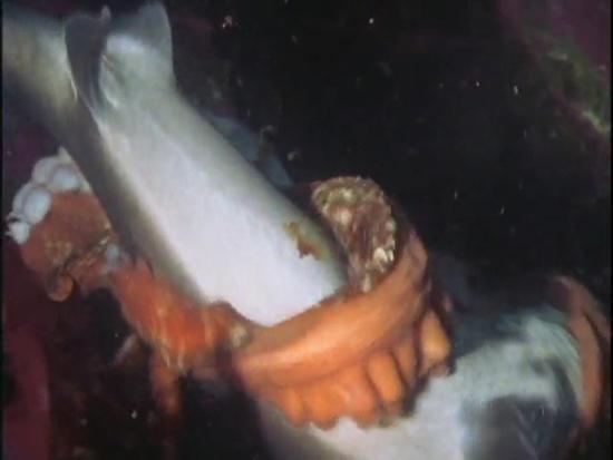 Ahtapot, köpekbalığına karşı 6