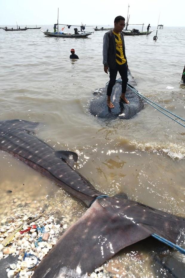 Köpek balıkları balıkçı ağlarına takıldı 5