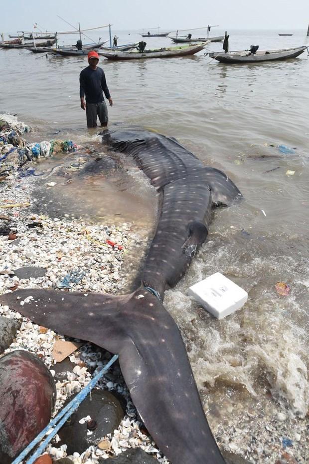 Köpek balıkları balıkçı ağlarına takıldı 7