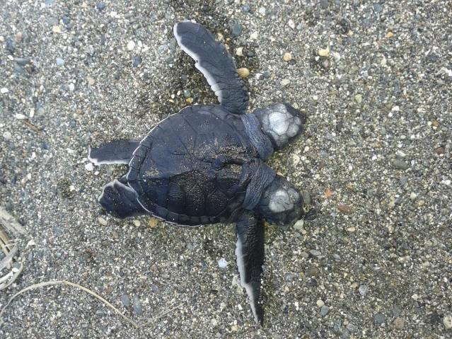 Çift başlı kaplumbağa incelemeye alındı 3