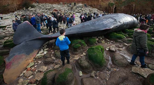 Dev balinalar karaya vurdu! 1