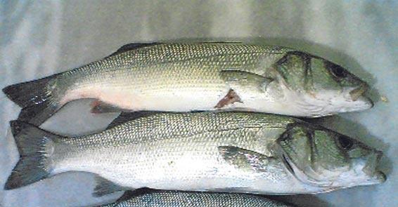 Türkiye'de denemesi gereken en lezzetli 10 balık 9