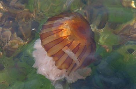Zehirli denizanası 10