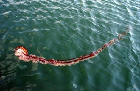 Zehirli denizanası 2