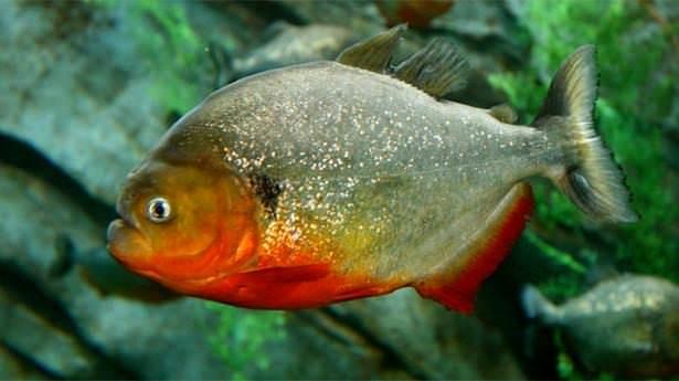 Okyanusların en zehirli balıkları 11
