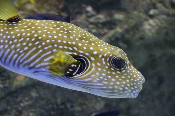 Okyanusların en zehirli balıkları 34