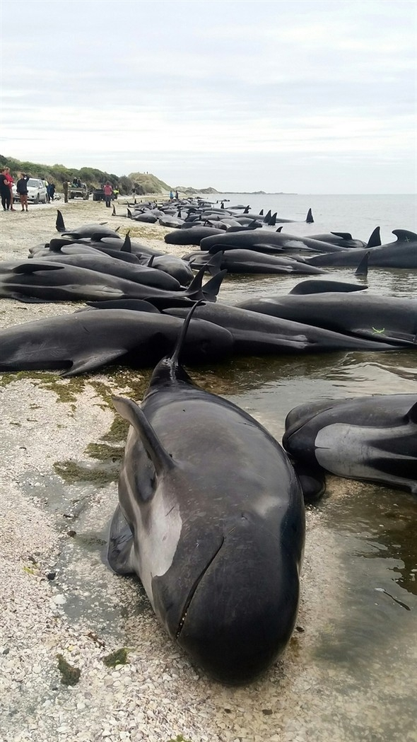 Yüzlerce pilot balina telef oldu! 1