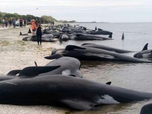 Yüzlerce pilot balina telef oldu!