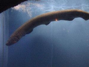 Yakalanan en büyük deniz canlıları 4