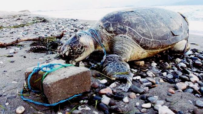 Rum Balıkçılık Dairesi'nin kapısına ölü kaplumbağalar bırakılıyor