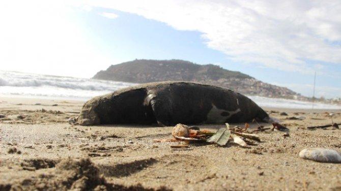 Keykubat Sahili'nde ölü bir Akdeniz foku bulundu