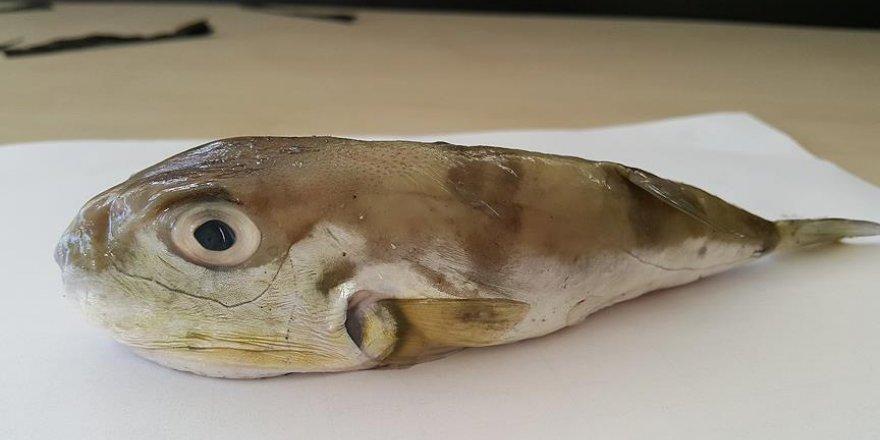 Kızıldeniz balıkları Akdeniz'i istila etti