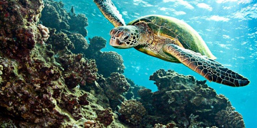 Etobur deniz kaplumbağaları, denizi temizliyor