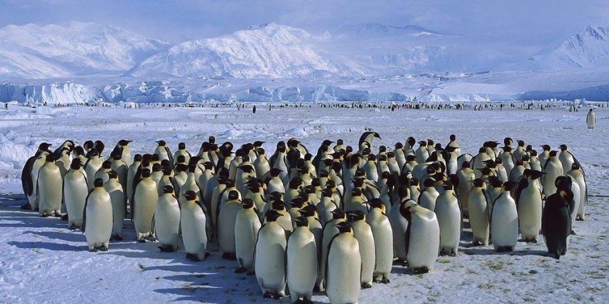 Binlerce penguen küresel ısınma kurbanı