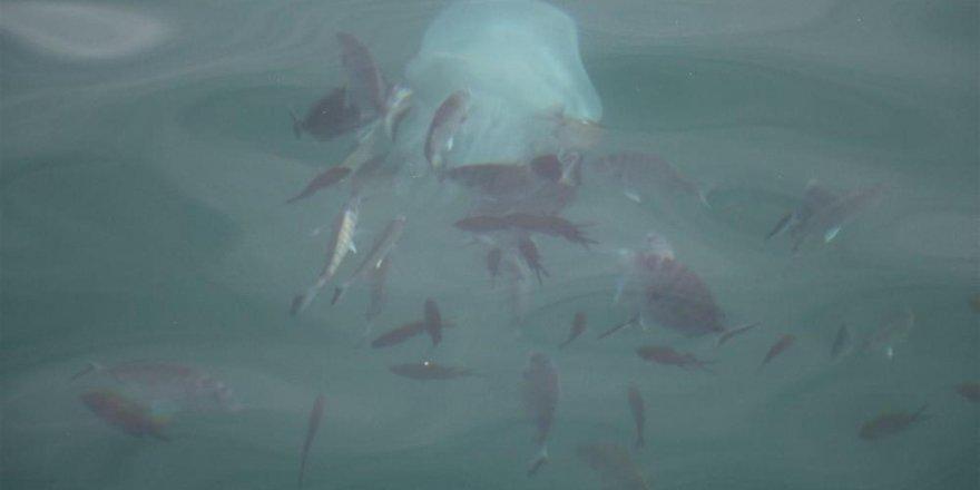 Deniz anaları tarakçı balıklarına yem olmaktan kurtulamadı