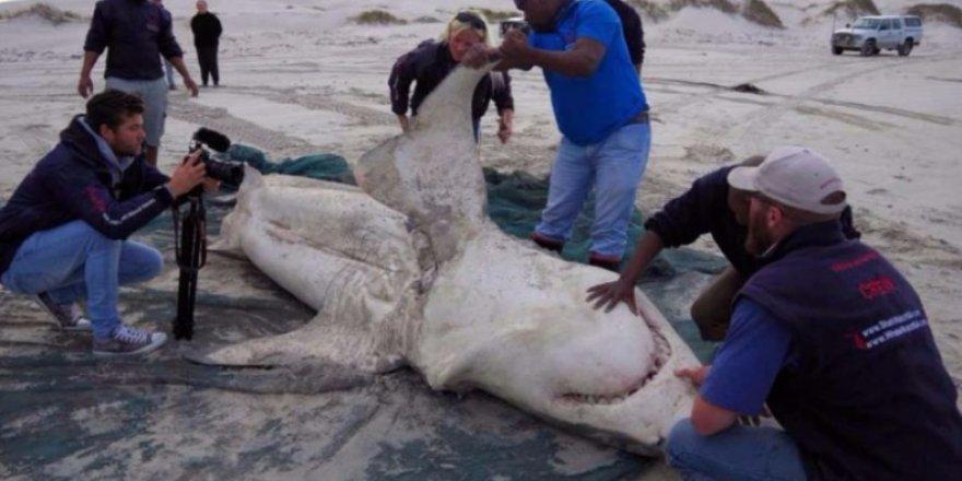 Beyaz köpekbalıkları katil balinalara yem oldu