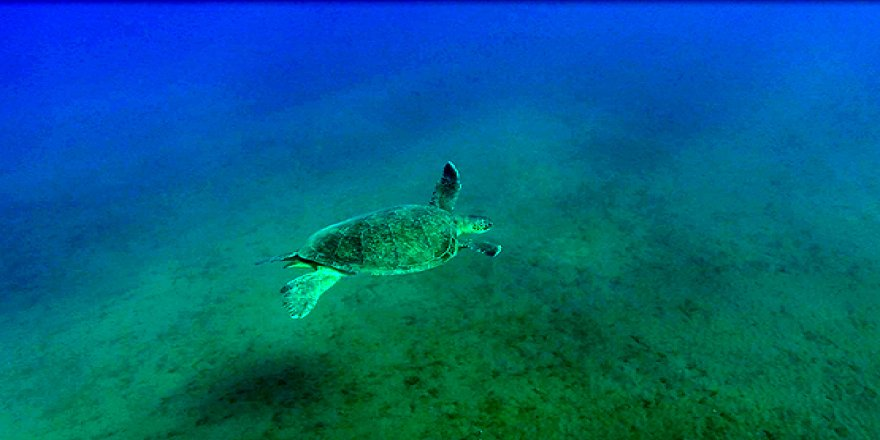 Deniz çayırlarının kaplumbağa 'Bahçıvanları'