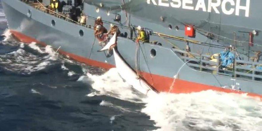 Japonya'dan balina avcılığı yalanlaması