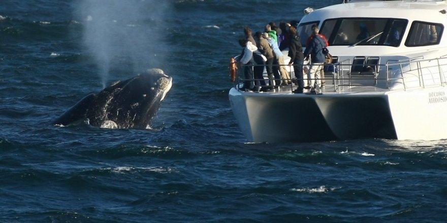 Husavik'te balina görme garantisi yüzde 99