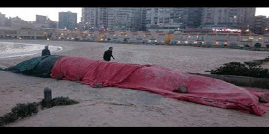 13 metrelik balina sahile vurdu!