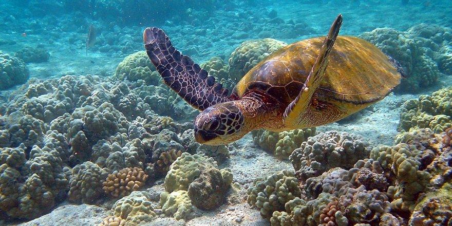 Yeşil kaplumbağa nüfusunda dişi oranı artıyor
