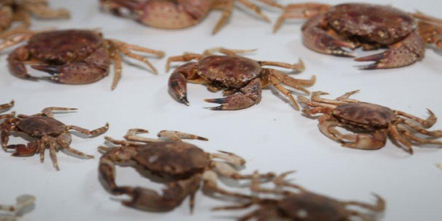 Akdeniz'e özgü balık ve yengeçler Karadeniz'i mesken tuttu