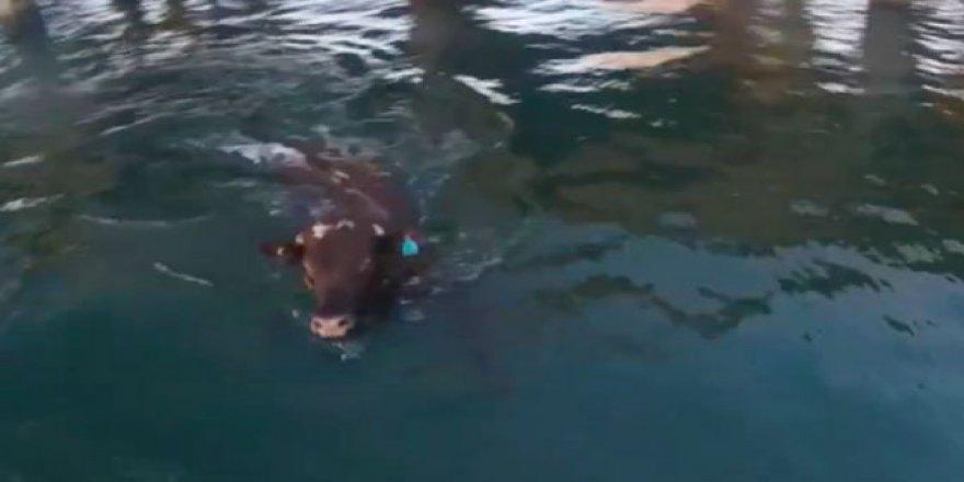 Yüzerek hayatta kalmayı başaran inek
