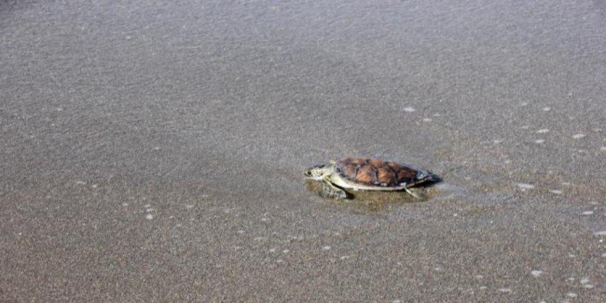Kaplumbağa 'Zeytin' denizle buluştu