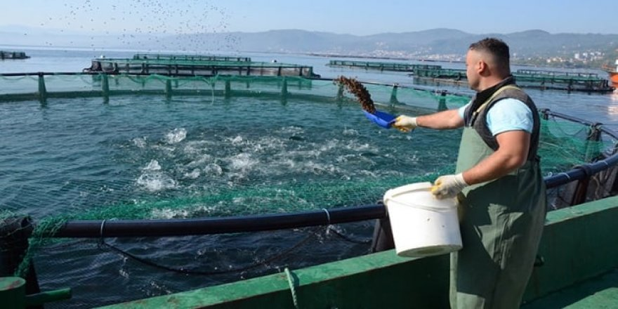 Ordu'dan Rusya ve Japonya'ya havuz balığı ihracatı yapılıyor