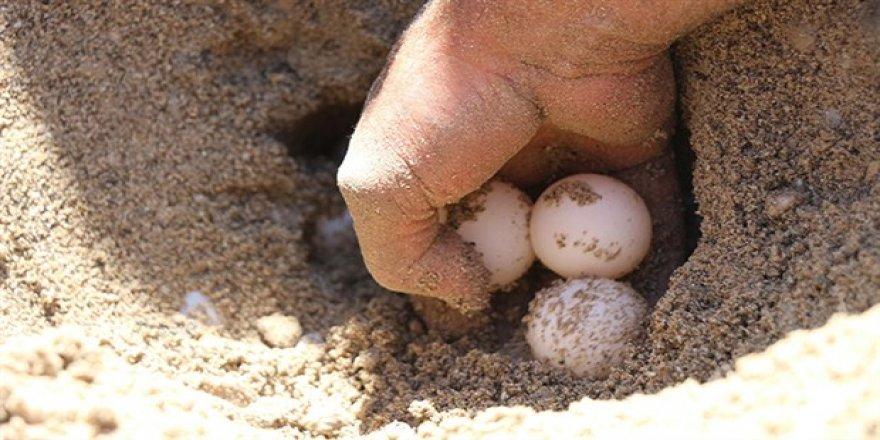 Caretta carettalar yumurta bırakmaya erken başladı