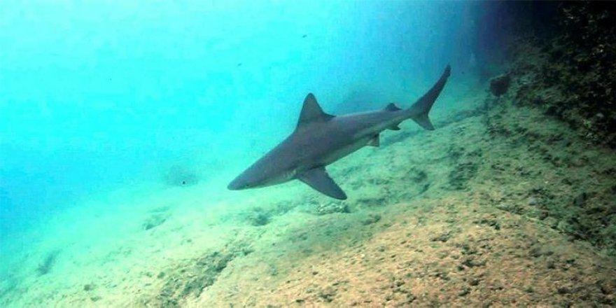 Gökova'da görülen köpekbalıklarının sırrı