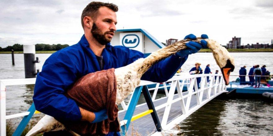 Hollanda'da çevre felaketi, kuşlar petrole bulandı