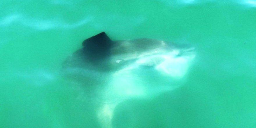Fethiye açıklarında 'Ay Balığı' sürprizi