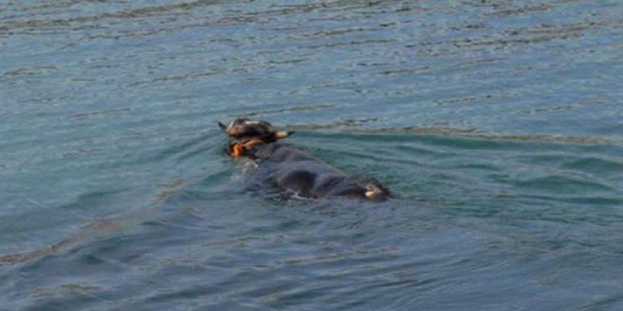 Rize'de kaçan boğa Trabzon'da yüzerken bulundu