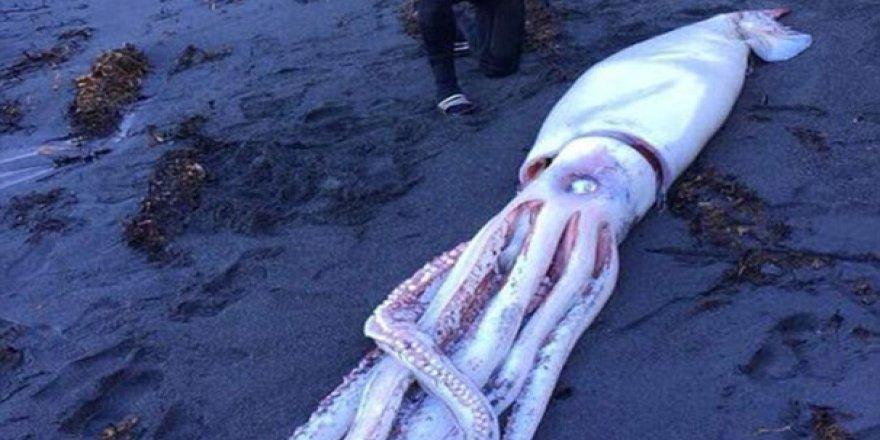 Yeni Zelanda'da dev mürekkep balığı bulundu