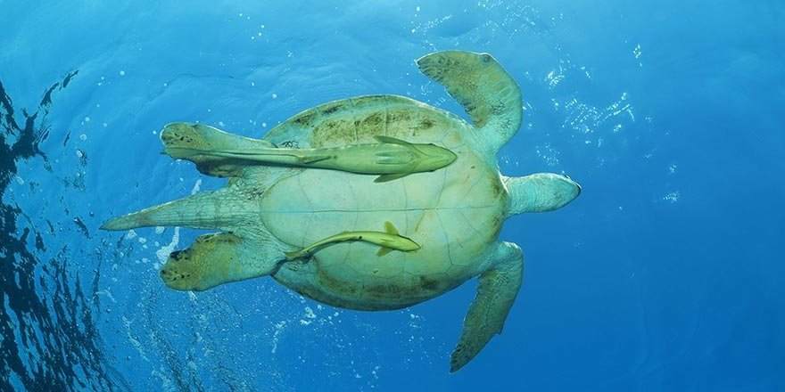 Yeşil deniz kaplumbağalarının ana vatanı