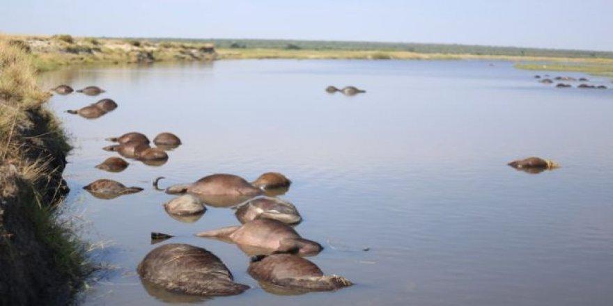 Aslanlardan kaçan yüzlerce bufalo boğuldu
