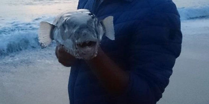 Alanyalıları paniklettiren balık