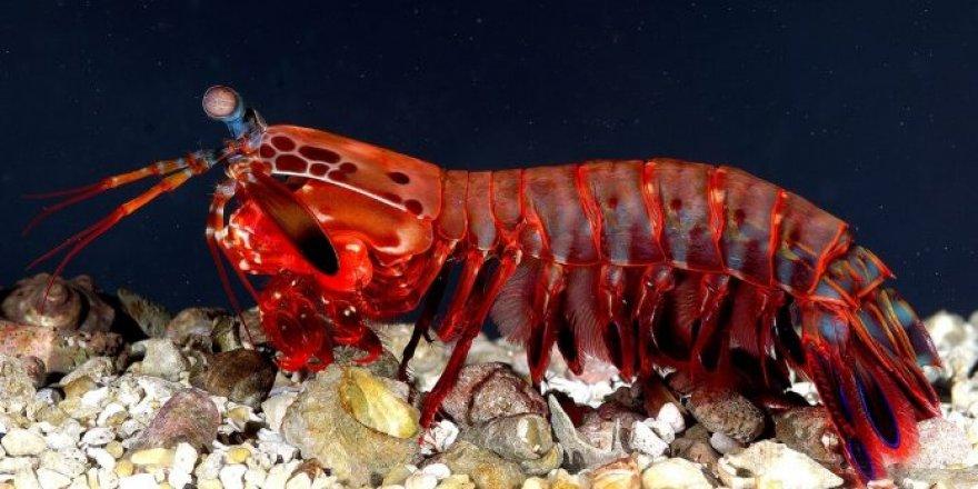 Dünyanın en güçlü canlısı: Mantis karidesi