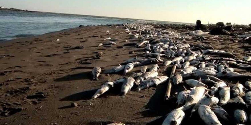 Avustralya'da toplu balık ölümlerine çare bulundu