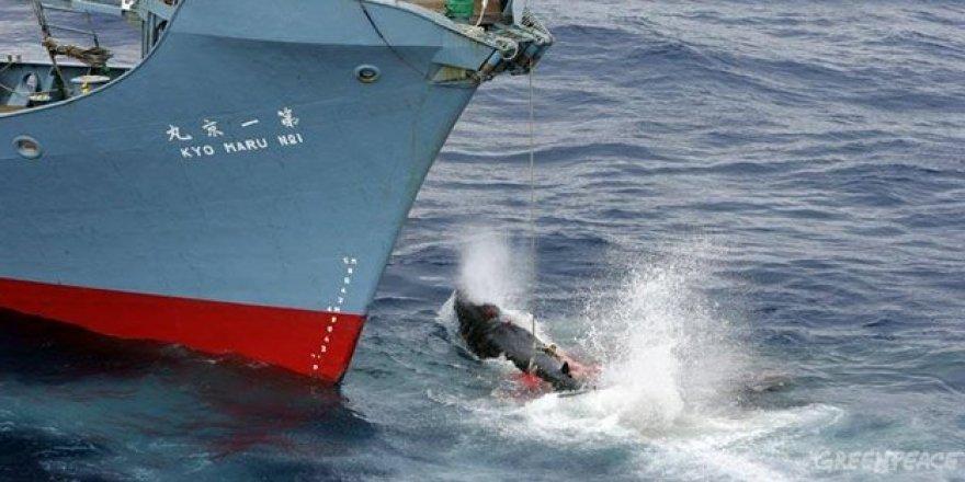 Japonya 1 Temmuz'da balina avına başlıyor