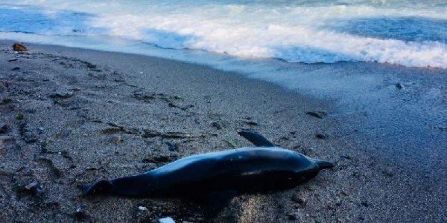 Sinop'ta 3 ölü yunus kıyıya vurdu