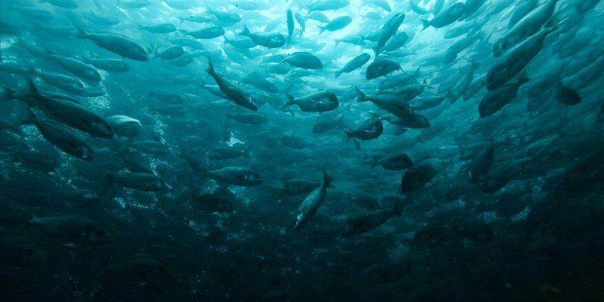"""Kültür balıkçılığının yeni türü """"Egeli"""""""