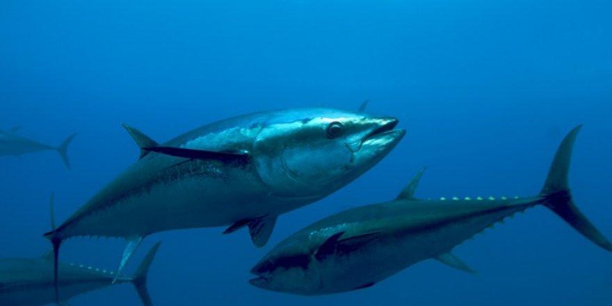 Orkinos avcılığı için 29 gemiye izin