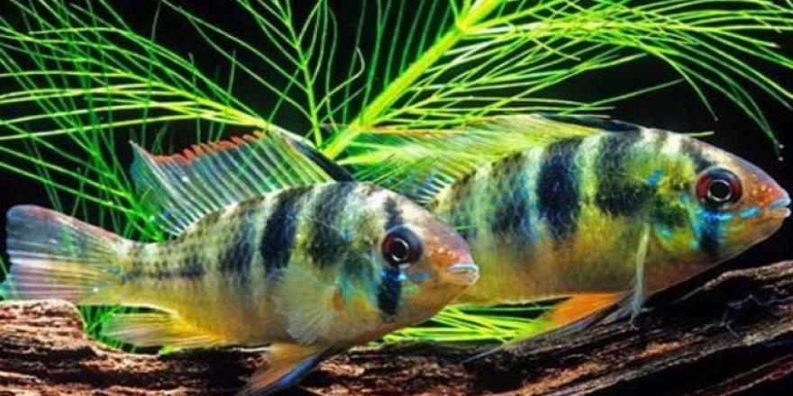 Balıklar da insanlar gibi aşk acısı çekiyor